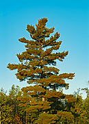 White pine trees  (Pinus strobus)<br />