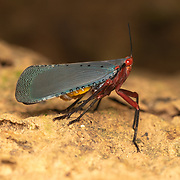 Kalidasa is a genus of bugs in the tribe Aphaenini of the family Fulgoridae. There are six species in the genus, which are found in different parts of tropical Asia. They have a slender and flexible stalk-like outgrowth arising from above the tip of the snout.