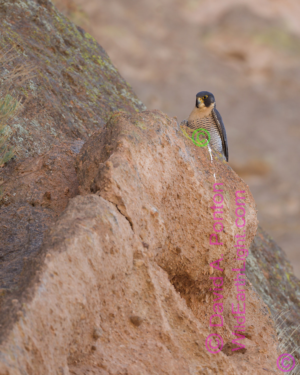 Peregrine falcon perched on cliff, © 2011 David A. Ponton