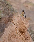 Peregrine falcon perched on cliff, © 2011 David A. Ponton