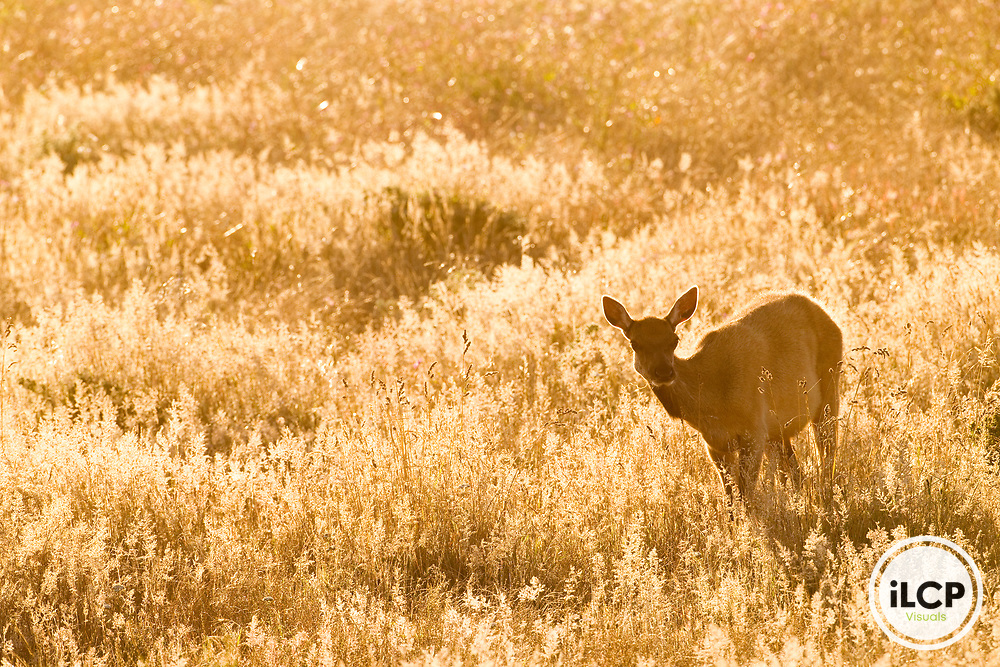 Tule Elk (Cervus elaphus nannodes) female in grassland, Point Reyes National Seashore, California