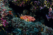 Red scorpionfish-Rascasse rouge (Scorpaena scrofa) of Méditerranée.