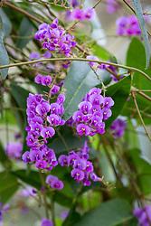 Hardenbergia violacea. Vine lilac, Purple coral pea.