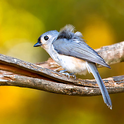 A titmouse perched on a branch, feathers blowing in the wind.
