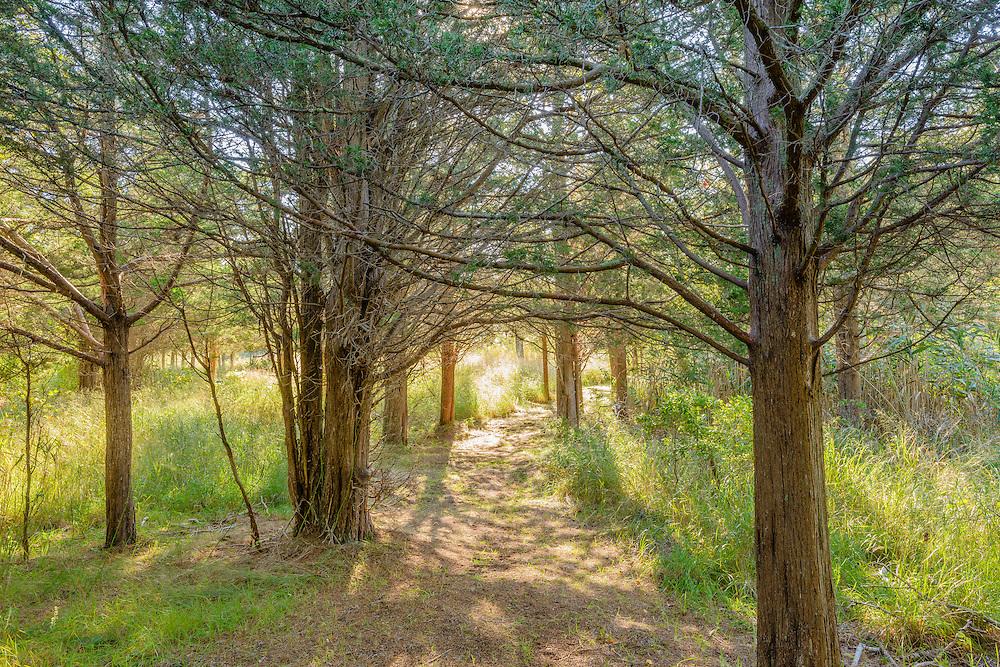 Path through Eastern Red Cedar Trees, North Haven, Sag Harbor, NY
