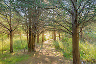 Path through Eastern Red Cedar Trees, North Haven, Sag Harbor, NY