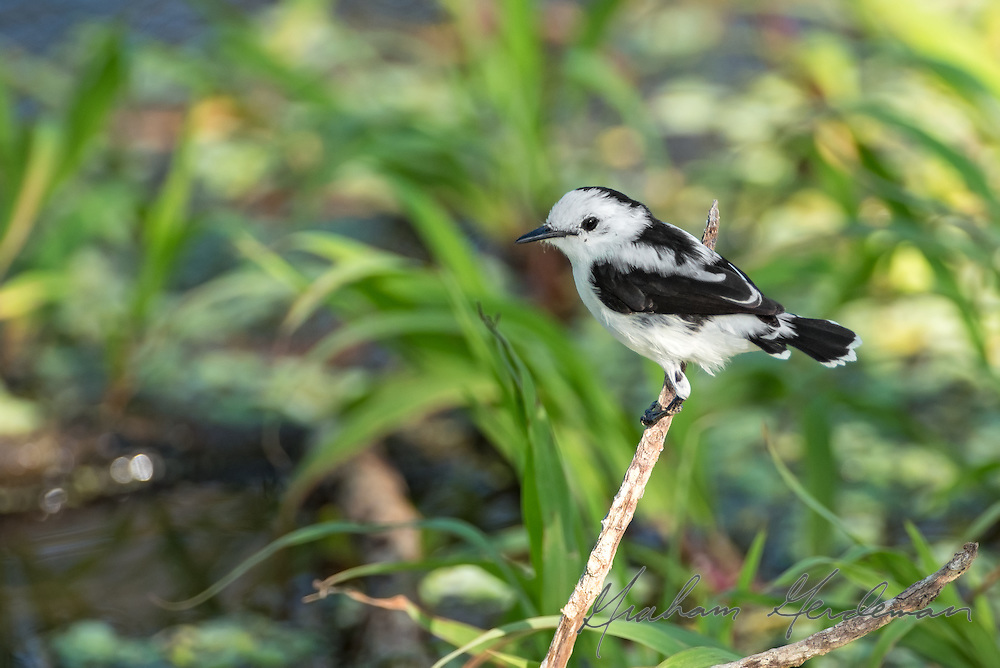 Pied Water-Tyrant (Fluvicola pica) in a nice habitat shot in Northern Colombia. This beautiful flycatcher lives in freshwater marshes.