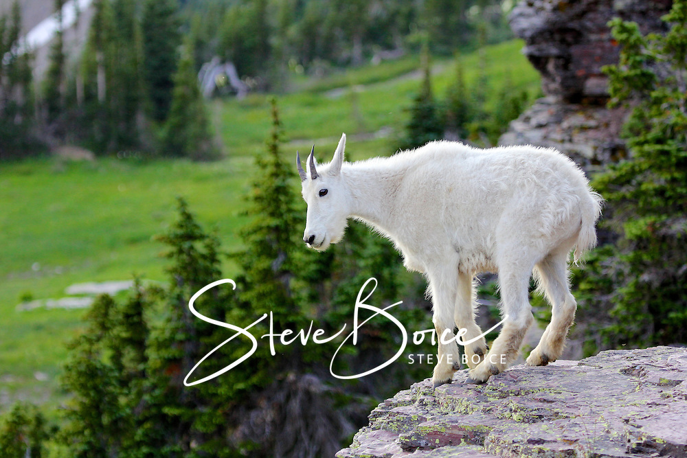 Mountain goat standing on a cliff in Glacier National Park