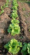 row of salads in garden