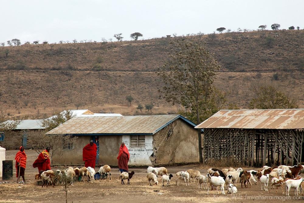 Africa, Tanzania, Arusha. Masai gather their goat herds to market.