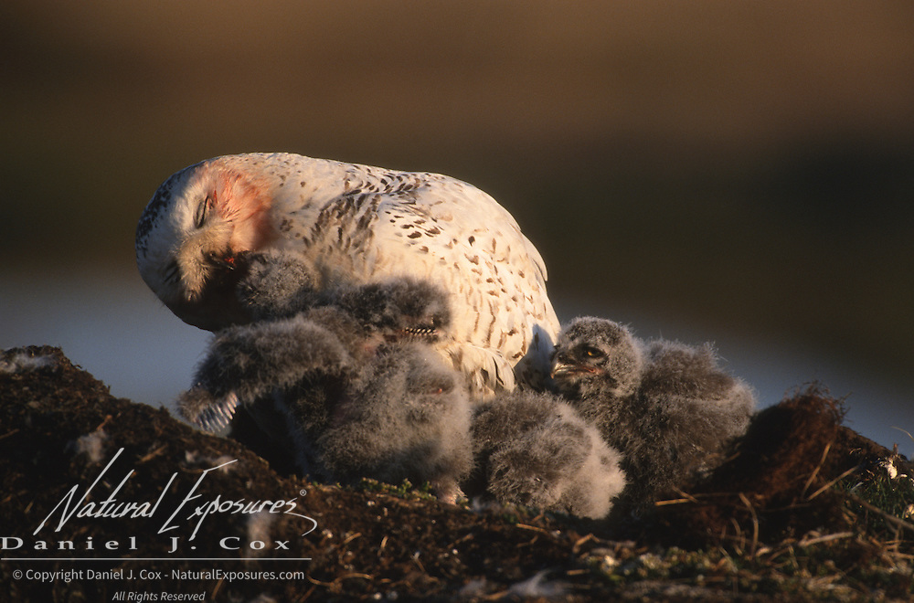 Snowy owl (Bubo scandiacus) adult feeds its chicks in the nest. Barrow, Alaska
