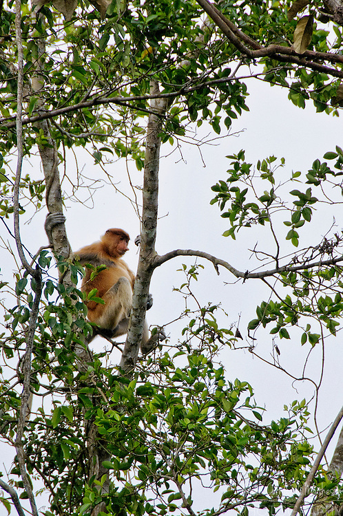 Proboscis monkeys (Nasalis larvatus) or or long-nosed monkeys, along the Klias River, in Sabah, Malaysia For more information, visit http://cheeseweb.eu/2013/06/cruising-sabahs-klias-river-photos/