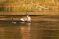 Canadian Geese rest on the Madison River as the sun sets.