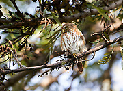 Ferruginous Pygmy Owl (Glaucidium brasilianum) perched in a tree, Jocotopec, Jalisco, Mexico