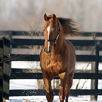 Stallion KENTUCKY BEAR