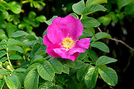 JAPANESE ROSE Rosa rugosa (Rosaceae) Height to 1.5m<br /> Showy shrub with upright stems that bear rather straight thorns. FLOWERS are 6-9cm across with 5 pinkish purple or white petals (Jun-Aug). FRUITS are spherical, red hips, 2-5cm across. LEAVES comprise 5-9 oval leaflets that are shiny above. STATUS-Widely planted beside roads and often naturalised elsewhere.
