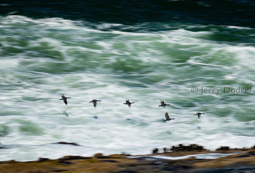 Cormorants in flight along the Oregon Coast at Shoe Acres, near Coos Bay.