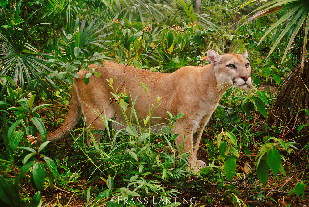 Cougar male in lowland rainforest, Puma concolor, Belize