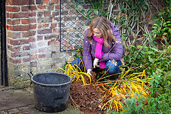 Mulching an agapanthus for winter protection