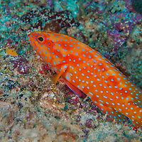 Alberto Carrera, Coral Grouper, Coral Rock Cod, Cephalopholis miniata, Coral Reef, North Ari Atoll, Maldives, Indian Ocean, Asia