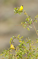 An adult male and female American Goldfinch together in a willow tree.