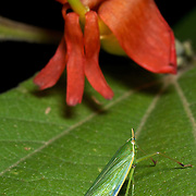 A dictyopharid leafhopper in Pang Sida National Park, Thailand.