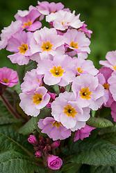 Polyanthus 'Stella Light Lilac' syn. 'Stella Pink Champagne'