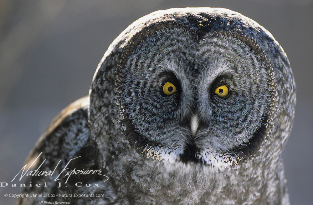 Great Gray Owl (Strix nebulosa) portrait of an adult. Canada