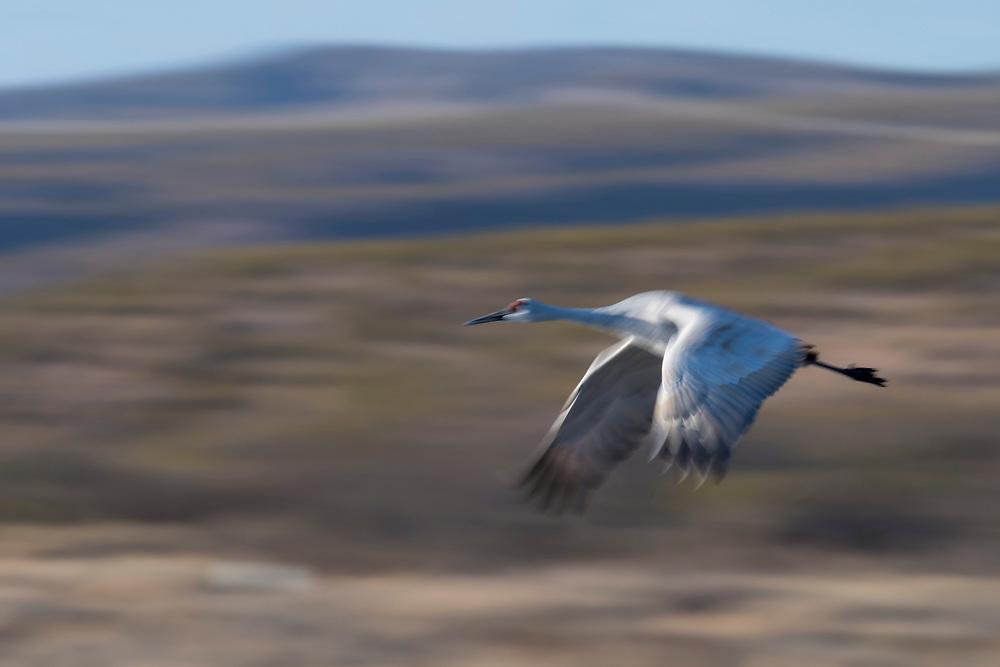 Sandhill Crane, Grus canadensis, Bosque del Apache NWR, New Mexico
