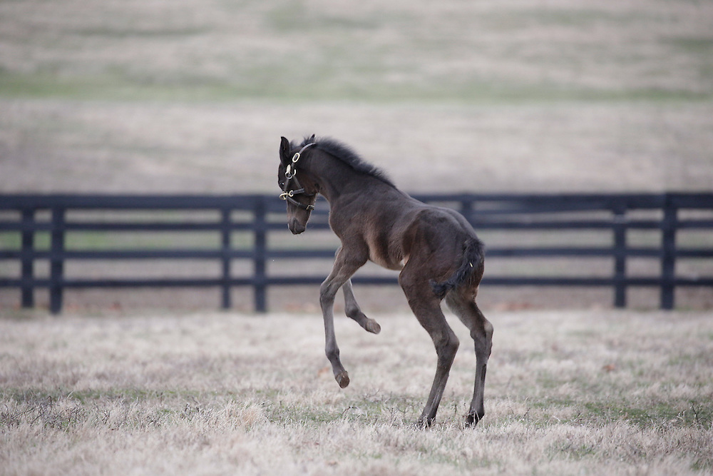 Gainesway Farm welcomes its first crop of foals from stallion Karakontie, Thursday, Feb. 16, 2017  at Gainesway Farm in Lexington.