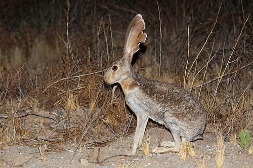 Adult jack rabbit