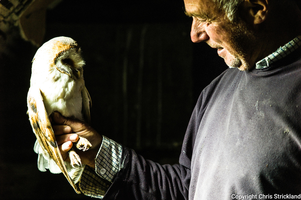 Newcastleton, Hawick, Scottish Borders, UK. 30th July 2015. A female Barn Owl is held by licensed Raptor surveyor Malcolm Henderson. The Barn Owl is nesting inside a disused water tank in the loft of an old cottage and is sat on her second batch of eggs for this summer; this usually indicates their is plenty of food such as voles, hence the extra breeding opportunity.