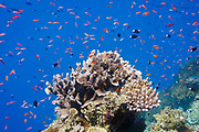 Various Anthias fish (pseudanthias) and Bicolor chormis (chromis margaritifer) schooling around coral on Agincourt Reef, Great Barrier Reef, Queensland, Australia.