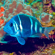 Indigo Hamlet inhabit reefs are common in NW Caribbean, uncommon to rare balance of Tropical West Atalantic; picture taken Roatan, Honduras.