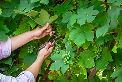 Pruning foliage around grapevine to let in light and encourage grapes to ripen