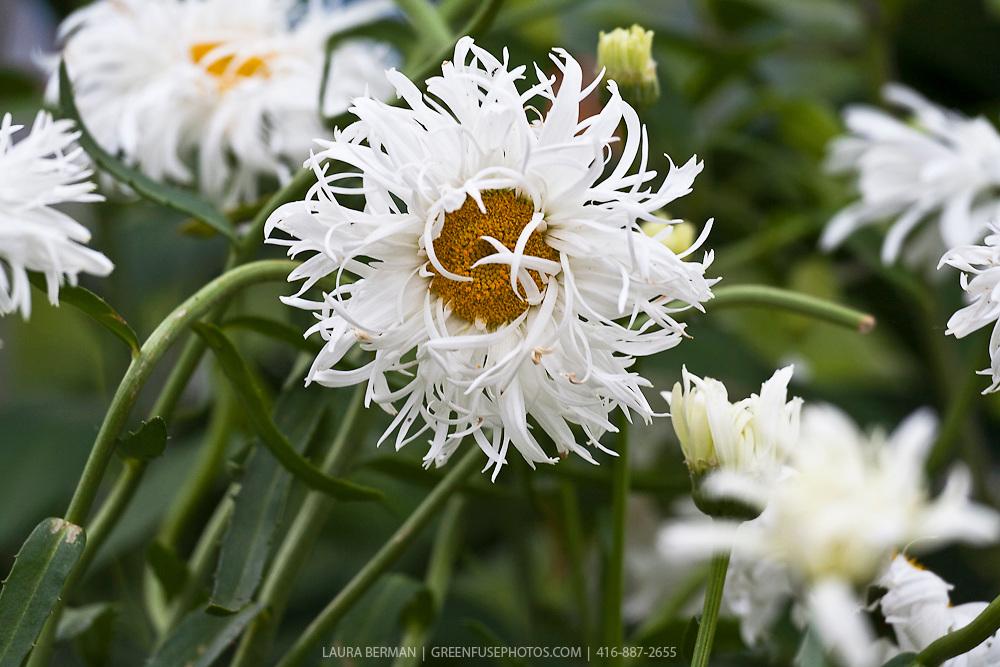 Crazy Daisy shasta daisy (Leucanthemum superbum 'Crazy Daisy')
