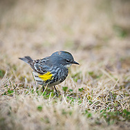 Yellow-rumped Warbler (Gavia immer ), British Columbia, Canada, Isobel Springett