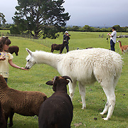A young girls feeds a lama during the Organic farm tour at Agrodome, Rotorua. The Agrodome offers visitors the experience of seeing through the eyes of a New Zealand farmer. Situated just north of Rotorua city on a scenic 160 hectare sheep and beef farm, Agrodome gives visitors an educational and hands-on experience..  Agrodome includes a Sheep Show featuring 19 breeds of sheep, sheep shearing, cow milking, lamb feeding and dog demonstrations. .The Organic Farm Tour gives visitors a hands-on experience with a variety of farm animals. Rotorua, New Zealand,. 10th December 2010 Photo Tim Clayton.