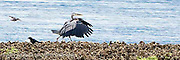 A Great Blue Heron and a crow pass as they walk on an oyster bed in the Hood Canal of Puget Sound in Washington state, USA