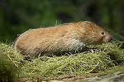 A red tree vole (Arborimus longicaudus) eamong discarded resin ducts from Douglas fir needles. Red tree voles are rarely seen. They are nocturnal and live in Douglas-fir tree-tops and almost never come to the forest floor.  They are one of the few animals that can persist on a diet of conifer needles which is their principle food.  As a defense mechanism, conifer trees have resin ducts in their needles that contain chemical compounds (terpenoids) that make them unpalatable to animals.  Tree voles, however, are able to strip away these resin ducts and eat the remaining portion of the conifer needle.