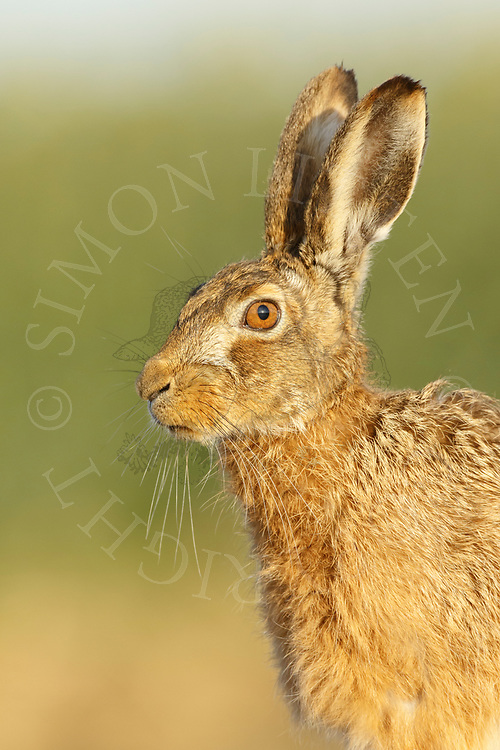 European Hare (Lepus europaeus) adult, close up of head South Norfolk, UK. March.