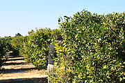 Israel, Sharon district, Citrus Grove clementine plot pruned trees a man picking fruit
