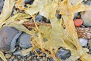 Rocks and seaweed on Agate Beach.  Naikoon Provincial Park. Graham Island. , Haida Gwaii (formerly the Queen Charlotte Islands), British Columbia, Canada
