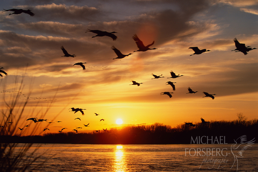Cranes take off in the early morning from their roost in the Platte River.  Nebraska.