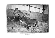 World famous racehorse Arkle with stable mate in Maynooth.<br />