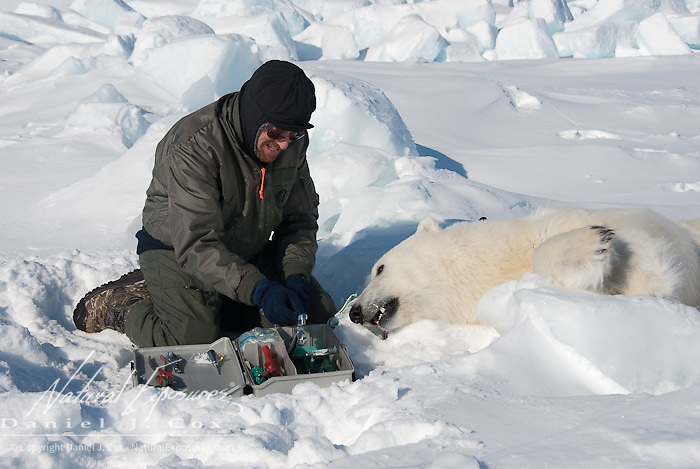 Geoff York, biologist for USGS, prepares a polar bear to start doing research. Kaktovik, Alaska.