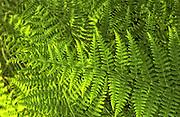 Green fern fronds with golden light