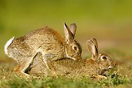 European Rabbit (Oryctolagus cuniculus) adult pair mating,  South Norfolk, England, May.