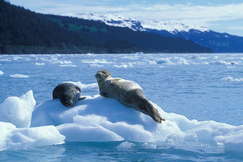 USA, Alaska, Chugach National Forest, Harbor Seal (Phoca vitulina) on ice near Yale Glacier in Prince William Sound