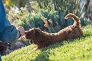 A Labradoodle Puppy plays on the grass.